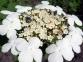 Калина садова - Viburnum opulus 4