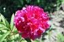 Пион травянистый «Красный Оксамыт»  0