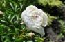 Пион травянистый «Др. Дж.Х. Нили»  2
