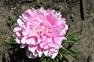 Пион травянистый «Sarah Bernhardts»  0