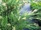 Можжевельник сабина Вариегата (Н=20-30 см) 2