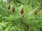 Сумах оленерогий (пушистый) - Rhus typhina 3