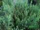 Можжевельник горизонтальний Блю Форест (Д=20-30 см) 2