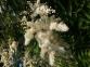Рябинник рябинолистный - Sorbaria sorbifolia 6