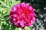 Пион травянистый «Красный Оксамыт»  3