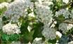 Арония (рябина) черноплодная - Arónia melanocárpa 0