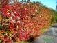Арония (рябина) черноплодная - Arónia melanocárpa 4
