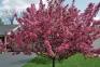 Яблоня гибридная Роялти- Malus hybrida Royalty 1
