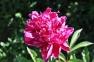 Пион травянистый «Красный Оксамыт»  2