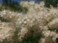 Рябинник рябинолистный - Sorbaria sorbifolia 2