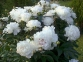 Пион травянистый «Морозко»  0