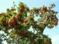 Рябина обыкновенная - Sorbus aucuparia 2