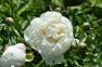 Пион травянистый «Др. Дж.Х. Нили»  0