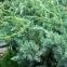 Можжевельник чешуйчатый Мейери 2