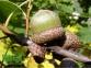 Дуб красный - Quercus rubra 0
