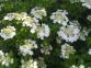 Калина садова - Viburnum opulus 5