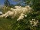 Рябинник рябинолистный - Sorbaria sorbifolia 0