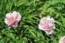 Пион травянистый «Любимец парков»  0