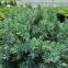 Можжевельника чешуйчатого 'Блу Стар' - Juniperus squamata