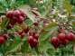 Яблоня гибридная