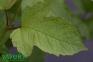 Калина садова - Viburnum opulus 3