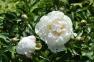 Пион травянистый «Др. Дж.Х. Нили»  3