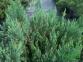 Можжевельник горизонтальний Блю Форест (Д=20-30 см) 3