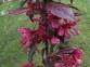 Яблоня гибридная Роялти- Malus hybrida Royalty 0