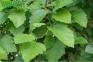 Боярышник мягковатый - Сrataegus submollis 1