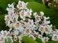 Катальпа бигнониевидная - Catalpa вignonioides 3