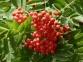 Рябина обыкновенная - Sorbus aucuparia 0