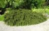 Кизильник горизонтальный - Cotoneaster horizontalis 1