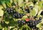 Арония (рябина) черноплодная - Arónia melanocárpa 2