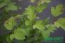 Калина садова - Viburnum opulus 0