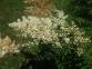 Рябинник рябинолистный - Sorbaria sorbifolia 3
