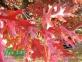 Дуб красный - Quercus rubra 1