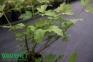 Калина садова - Viburnum opulus 2