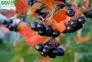 Арония (рябина) черноплодная - Arónia melanocárpa 3