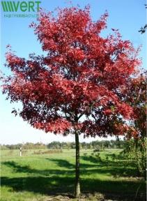 Дуб красный - Quercus rubra