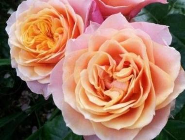 Роза чайно-гибридная Вувузело