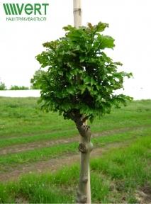 Ясень пенсильванский