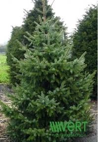 Ель сербская (Балканская) - Picea omorika