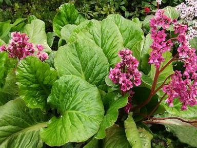 Бадан серцелистный - Bertgeni сordifolia