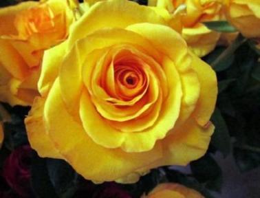 Роза чайно-гибридная Дежавю