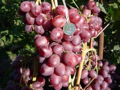 Виноград Ксения