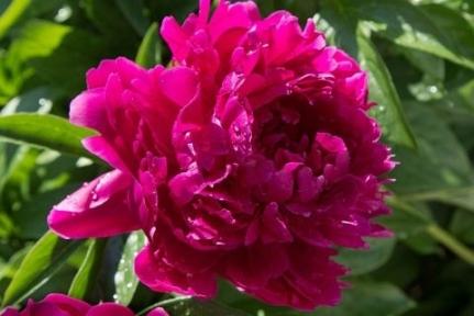 Пион травянистый «Karl Rosenfield»