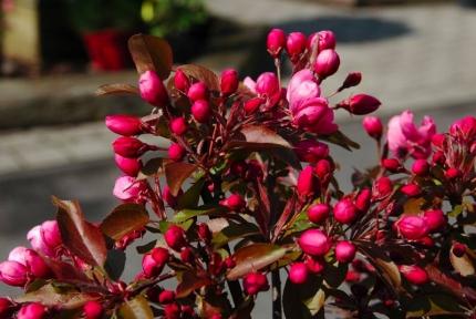 Яблоня гибридная Роялти- Malus hybrida Royalty