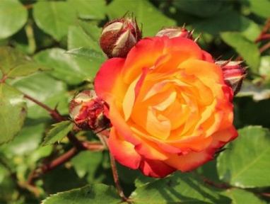 Роза плетистая Румба