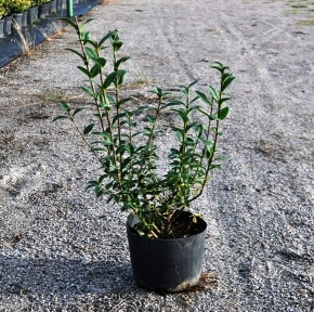 Бирючина обыкновенная - Ligustrum vulgare
