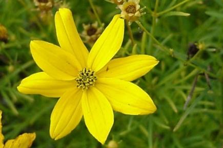 Кореопсис ланцетолистный - Coreopsis ceolota